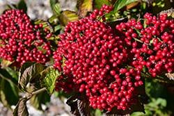 Viburnum 'Cardinal Candy'