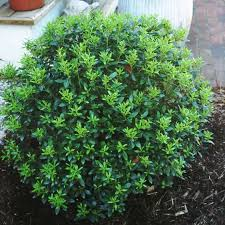 Ilex 'Strongbox'
